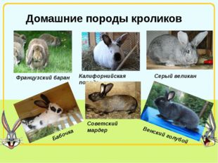 Домашние породы кроликов Французский баран Калифорнийская порода Серый велика