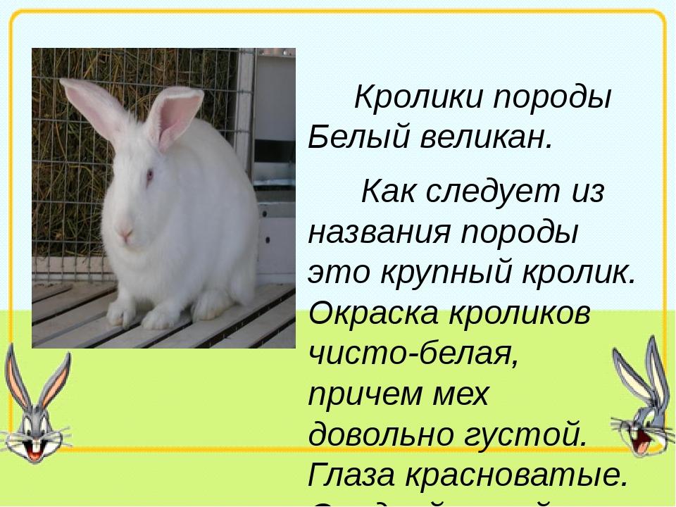 Кролики породы Белый великан. Как следует из названия породы это крупный кро...