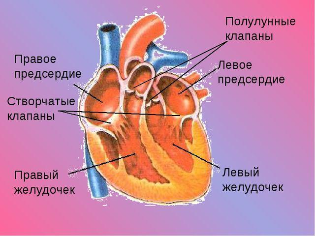 Левый желудочек Правый желудочек Левое предсердие Правое предсердие Створчаты...