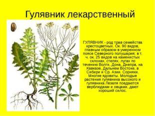 Гулявник лекарственный ГУЛЯВНИК - род трав семейства крестоцветных. Ок. 90 ви