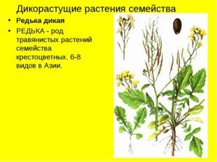 Дикорастущие растения семейства Редька дикая РЕДЬКА - род травянистых растени
