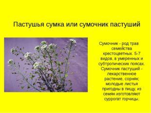 Пастушья сумка или сумочник пастуший Сумочник - род трав семейства крестоцвет