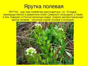 Ярутка полевая ЯРУТКА - род трав семейства крестоцветных. Ок. 70 видов, преим