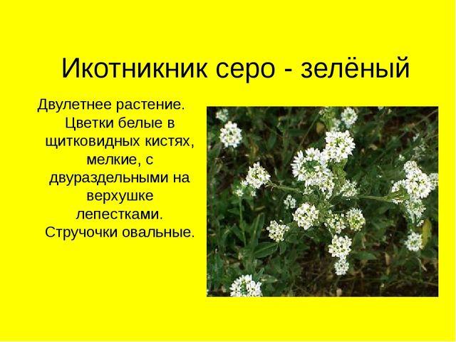Икотникник серо - зелёный Двулетнее растение. Цветки белые в щитковидных кист...