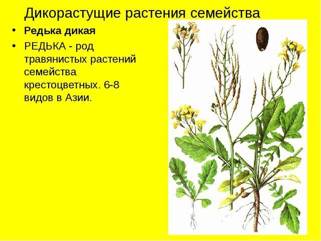 Дикорастущие растения семейства Редька дикая РЕДЬКА - род травянистых растени...
