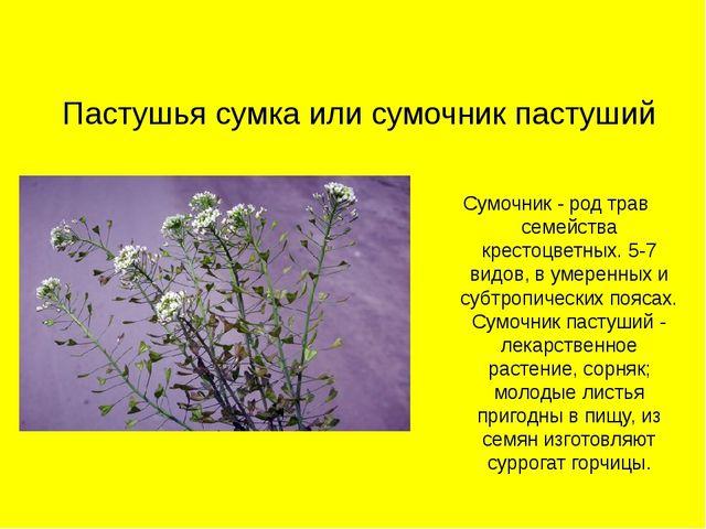 Пастушья сумка или сумочник пастуший Сумочник - род трав семейства крестоцвет...