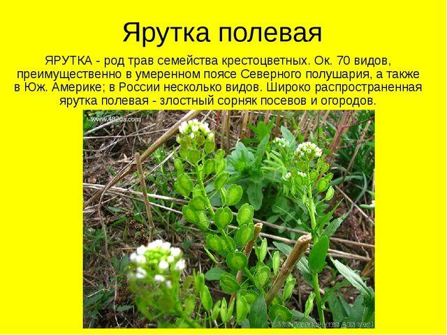 Ярутка полевая ЯРУТКА - род трав семейства крестоцветных. Ок. 70 видов, преим...
