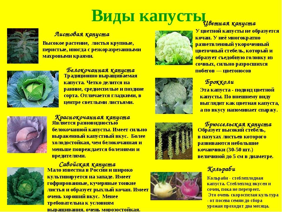 Виды капусты Листовая капуста Краснокочанная капуста Белокочанная капуста Сав...