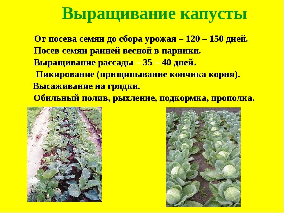 Выращивание капусты От посева семян до сбора урожая – 120 – 150 дней. Посев с...