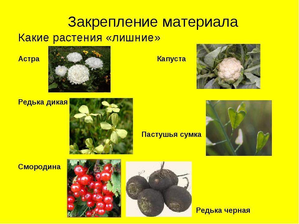 Закрепление материала Какие растения «лишние» Астра Капуста Редька дикая Пас...