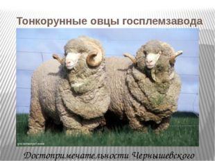 Тонкорунные овцы госплемзавода с.Комсомолец Достопримечательности Чернышевск