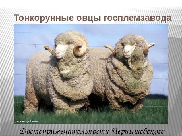 Тонкорунные овцы госплемзавода с.Комсомолец Достопримечательности Чернышевск...