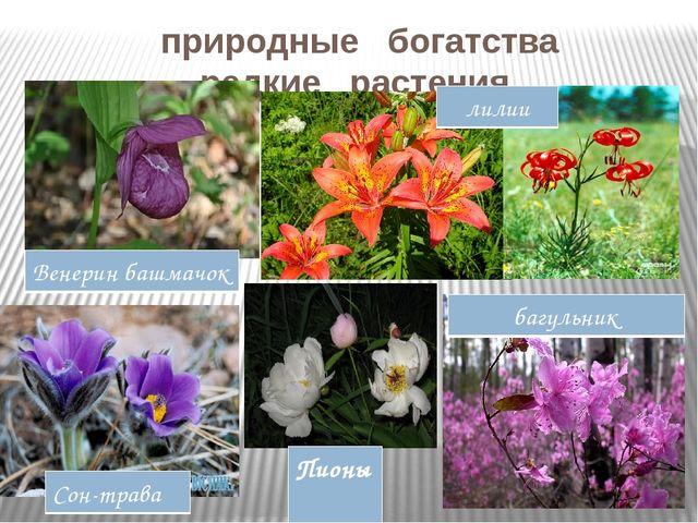 природные богатства редкие растения Венерин башмачок лилии Пионы багульник С...