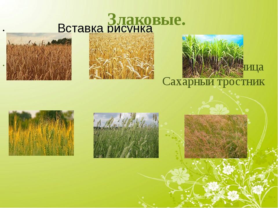 Злаковые. Рожь Пшеница Сахарный тростник Ячмень Тимофеевка Мятлик