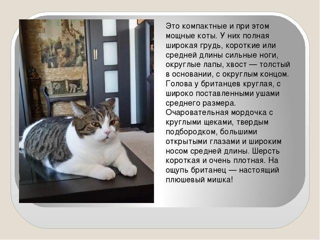 Это компактные и при этом мощные коты. У них полная широкая грудь, короткие...