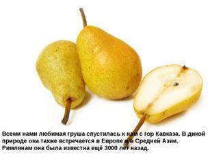 Всеми нами любимая груша спустилась к нам с гор Кавказа. В дикой природе она