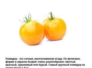 Помидор - это сочная, многосемянная ягода. По величине, форме и окраске бывае