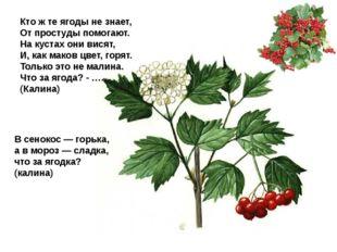 Кто ж те ягоды не знает, От простуды помогают. На кустах они висят, И, как ма