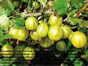 Крыжовник - это колючий кустарник высотой до 2 м. Листья сердцевидные, широко