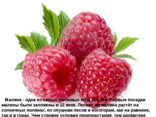 Малина - одна из самых любимых ягод России. Первые посадки малины были зал