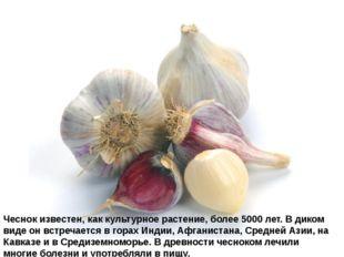 Чеснокизвестен, как культурное растение, более 5000 лет. В диком виде он вст