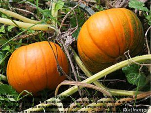 Тыква – это крупный, с округлой или вытянутой формой овощ с толстой и твердой