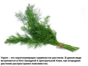Укроп – это короткоживущее травянистое растение. В диком виде встречается в Ю