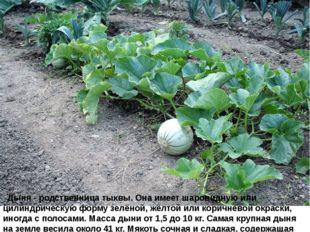 Дыня - родственница тыквы. Она имеет шаровидную или цилиндрическую форму зе