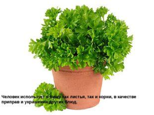 Человек использует в пищу как листья, так и корни, в качестве приправ и украш