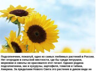 Подсолнечник, пожалуй, одно из самых любимых растений в России. Нет огородов