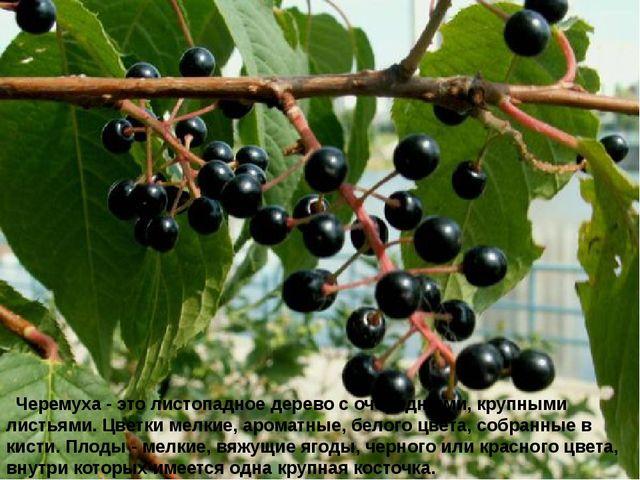 Черемуха - это листопадное дерево с очередными, крупными листьями. Цветки м...