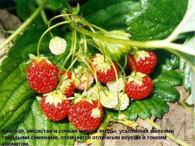 Красная, мясистая и сочная мякоть ягоды, усыпанная мелкими твёрдыми семенами,...