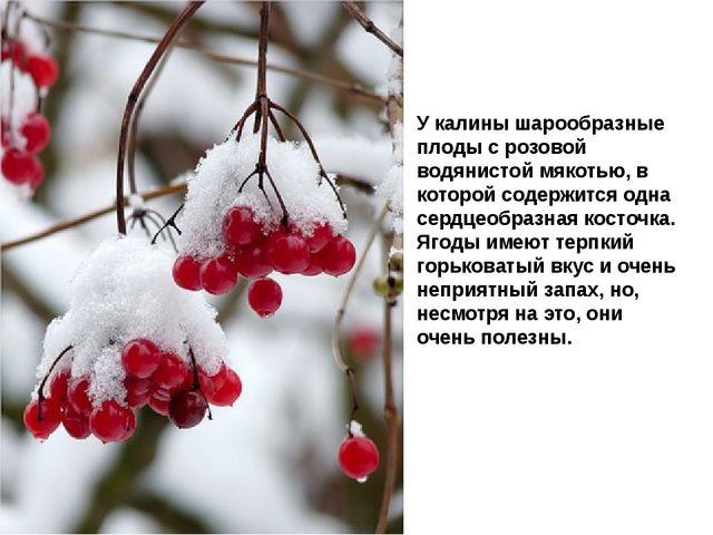 У калины шарообразные плоды с розовой водянистой мякотью, в которой содержитс...