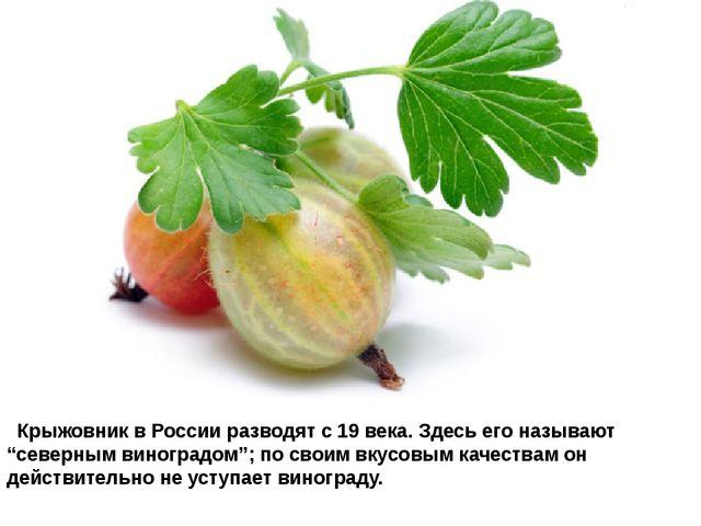 """Крыжовник в России разводят с 19 века. Здесь его называют """"северным виногра..."""