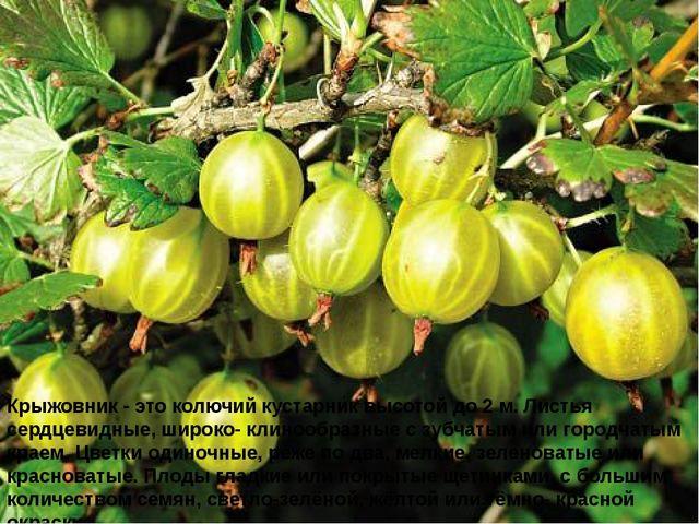 Крыжовник - это колючий кустарник высотой до 2 м. Листья сердцевидные, широко...