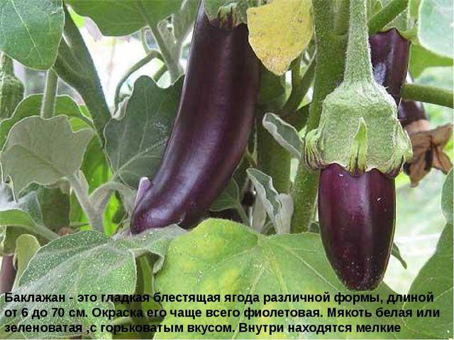 Баклажан - это гладкая блестящая ягода различной формы, длиной от 6 до 70 см....