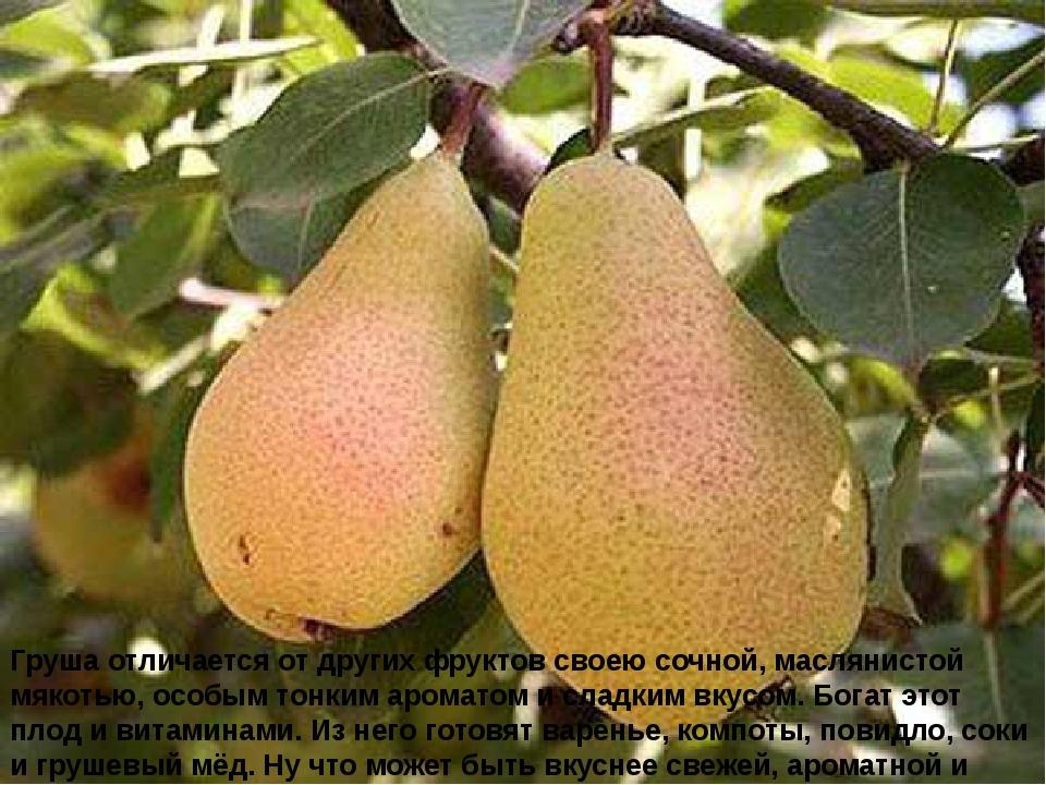 Груша отличается от других фруктов своею сочной, маслянистой мякотью, особым...