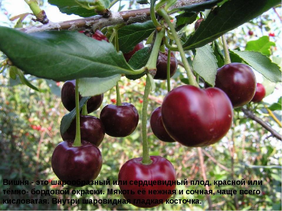 Вишня - это шарообразный или сердцевидный плод, красной или тёмно- бордовой о...
