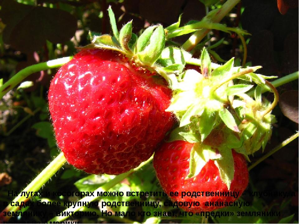 На лугах и косогорах можно встретить ее родственницу – клубнику, а в садах б...