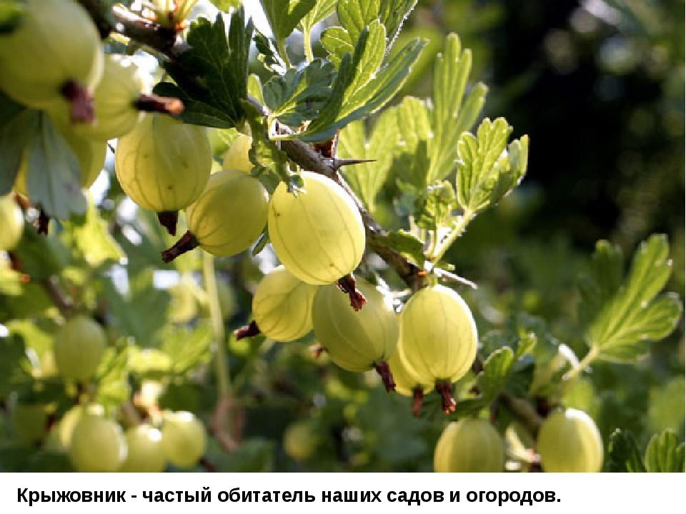 Крыжовник - частый обитатель наших садов и огородов.