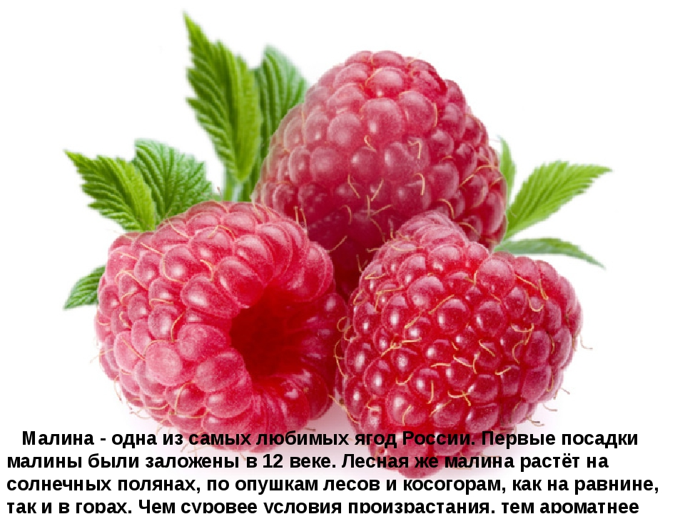 Малина - одна из самых любимых ягод России. Первые посадки малины были зал...