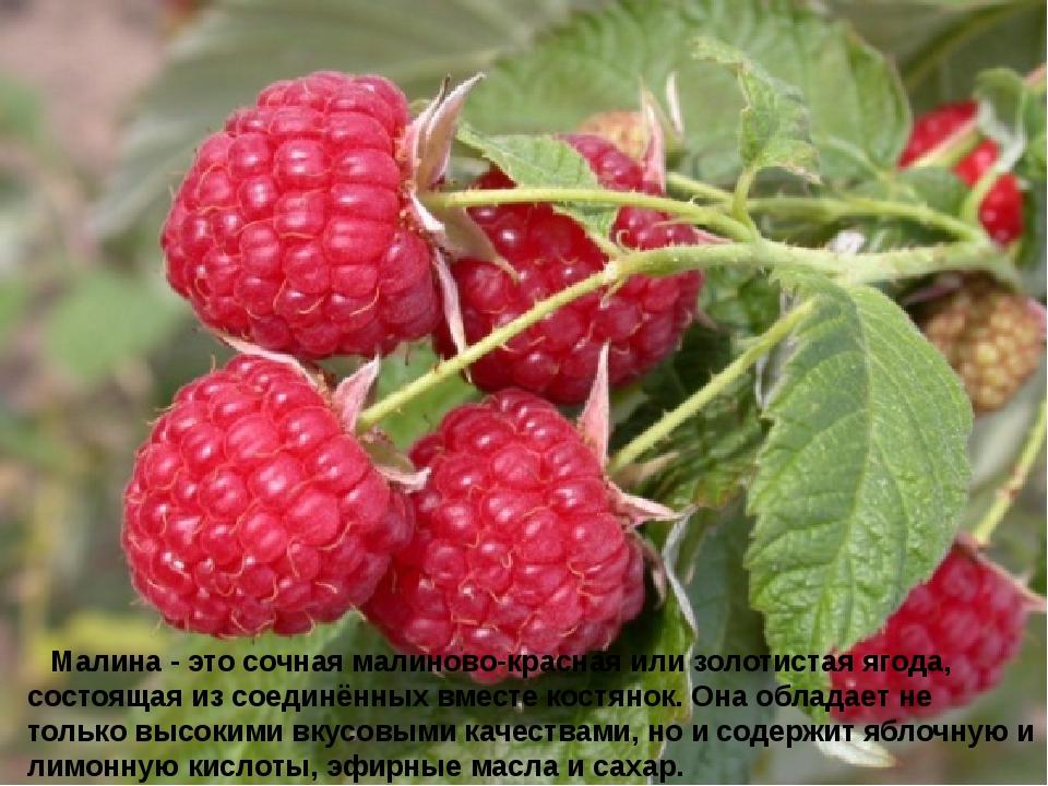 Малина - это сочная малиново-красная или золотистая ягода, состоящая из со...