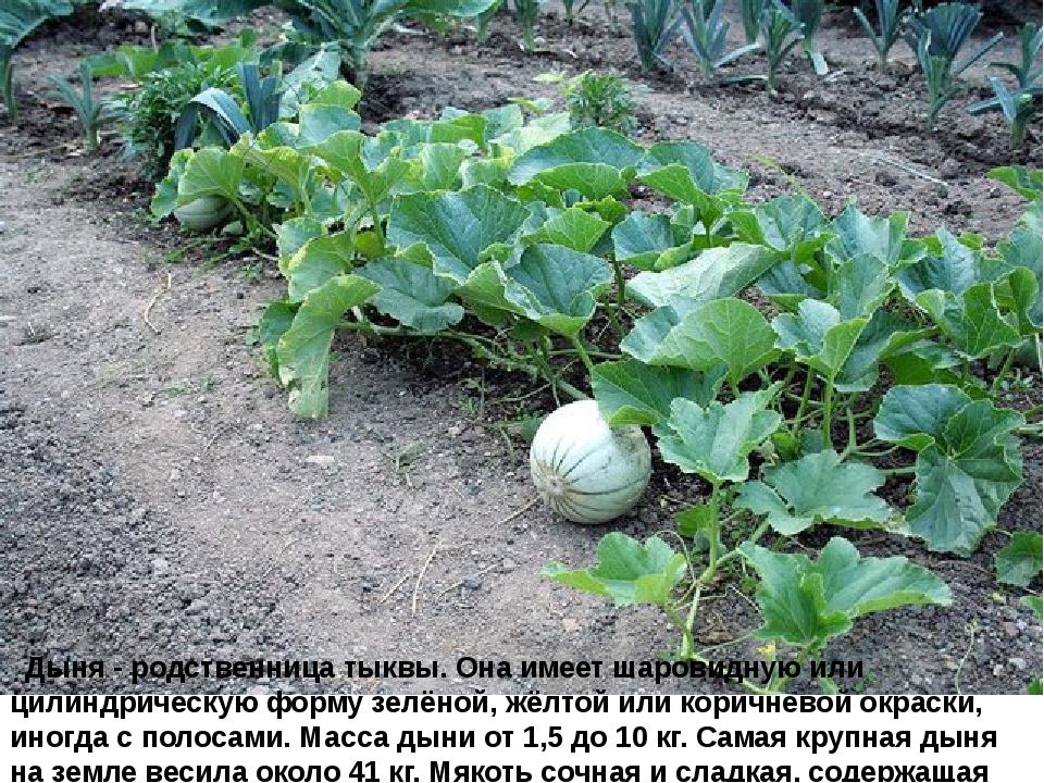 Дыня - родственница тыквы. Она имеет шаровидную или цилиндрическую форму зе...