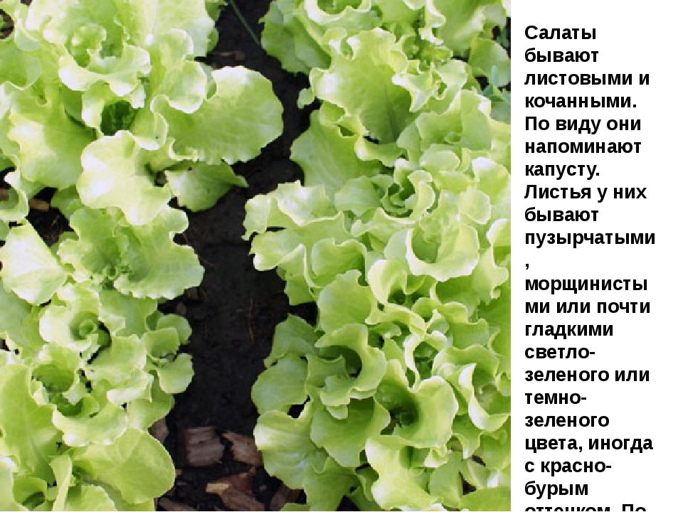 Салаты бывают листовыми и кочанными. По виду они напоминают капусту. Л...