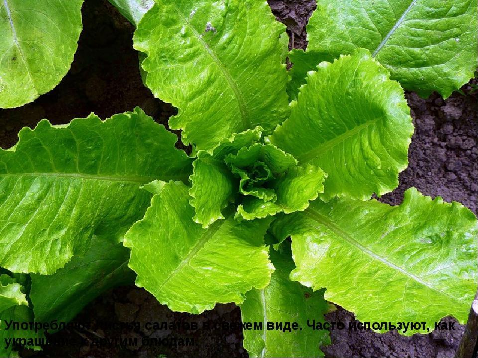Употребляют листья салатов в свежем виде. Часто используют, как украшение к д...