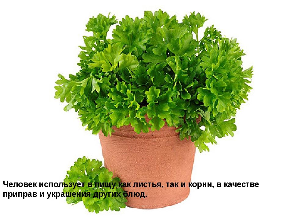 Человек использует в пищу как листья, так и корни, в качестве приправ и украш...