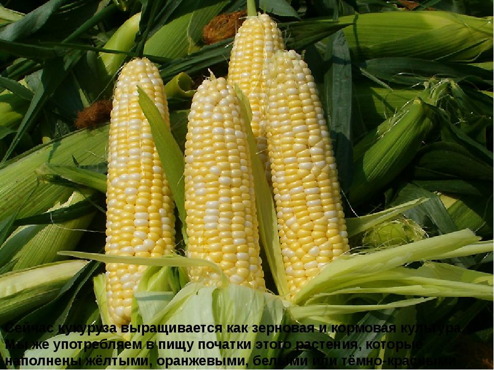 Сейчас кукуруза выращивается как зерновая и кормовая культура. Мы же употребл...