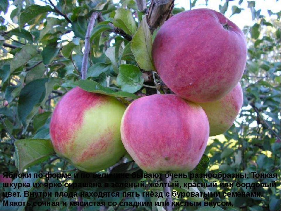 Яблоки по форме и по величине бывают очень разнообразны. Тонкая шкурка их ярк...