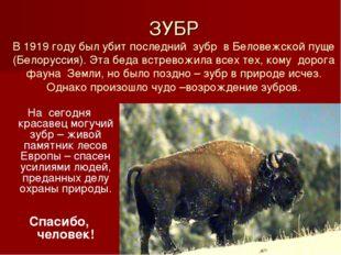 ЗУБР В 1919 году был убит последний зубр в Беловежской пуще (Белоруссия). Эт