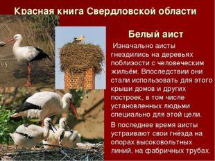 Красная книга Свердловской области Белый аист Изначально аисты гнездились на